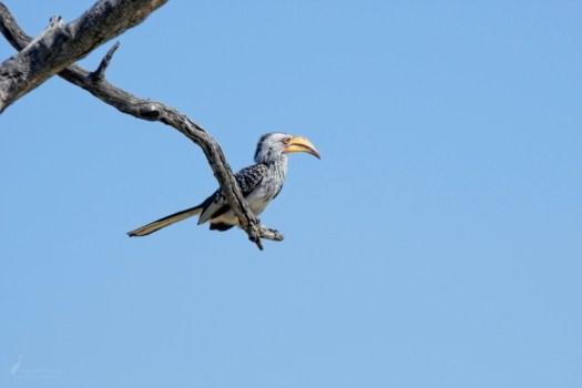 12pm - Hornbill