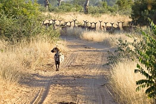 7am - Hyena and Impala