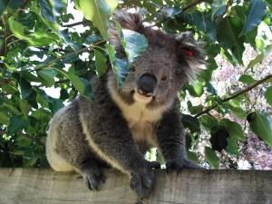 koala 010
