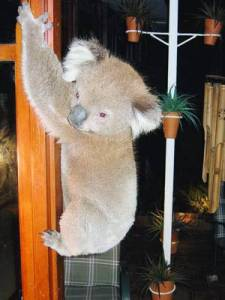 koala inside
