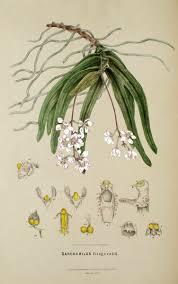 Ravine orchid 4.ashx
