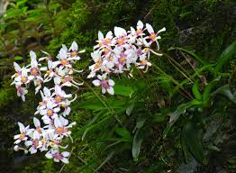 Ravine orchid 4