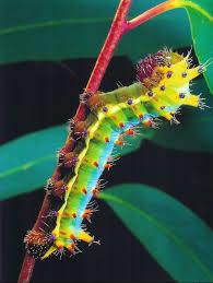emperor-gum-caterpillar