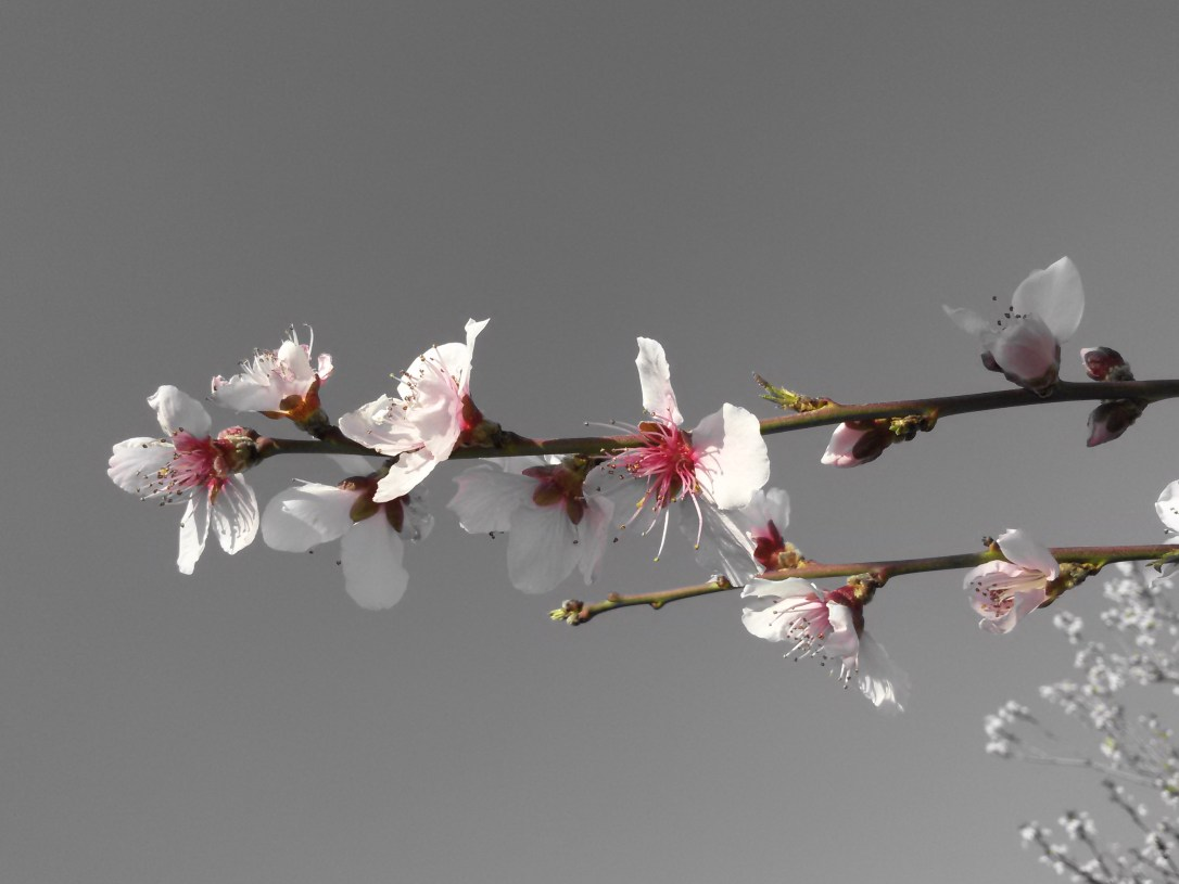 cherry blossom on gray