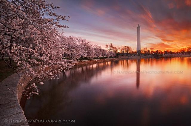 cherry blossom tidal basin