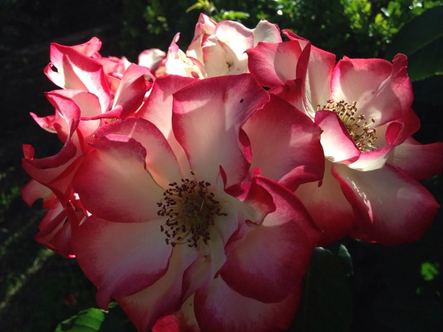 Rose Colored Memories