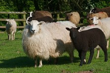 Welsh Mountain Ewe
