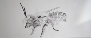 Leafcutter bee. Original pen and ink drawing on Saunders Waterford hot pressed paper, 56.5cm x 16.5cm