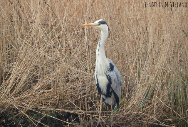 Norfolk Broads Heron