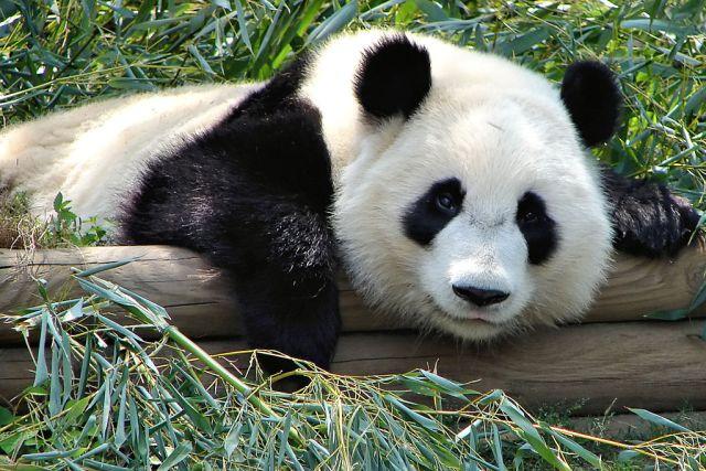 1024px-atlanta_zoo_panda