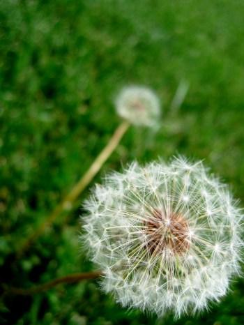 dandelion bloom