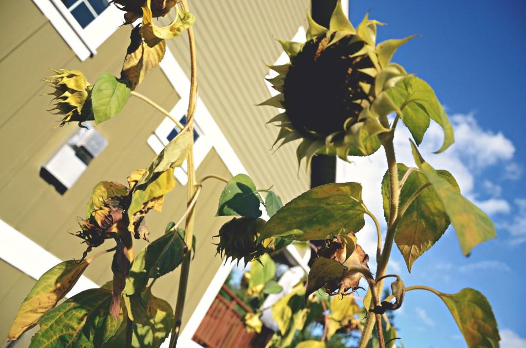 dead sunflowers are dead via @jennyonthespot