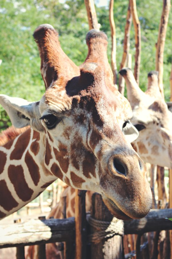 Giraffe - A visit to the Woodland Park Zoo