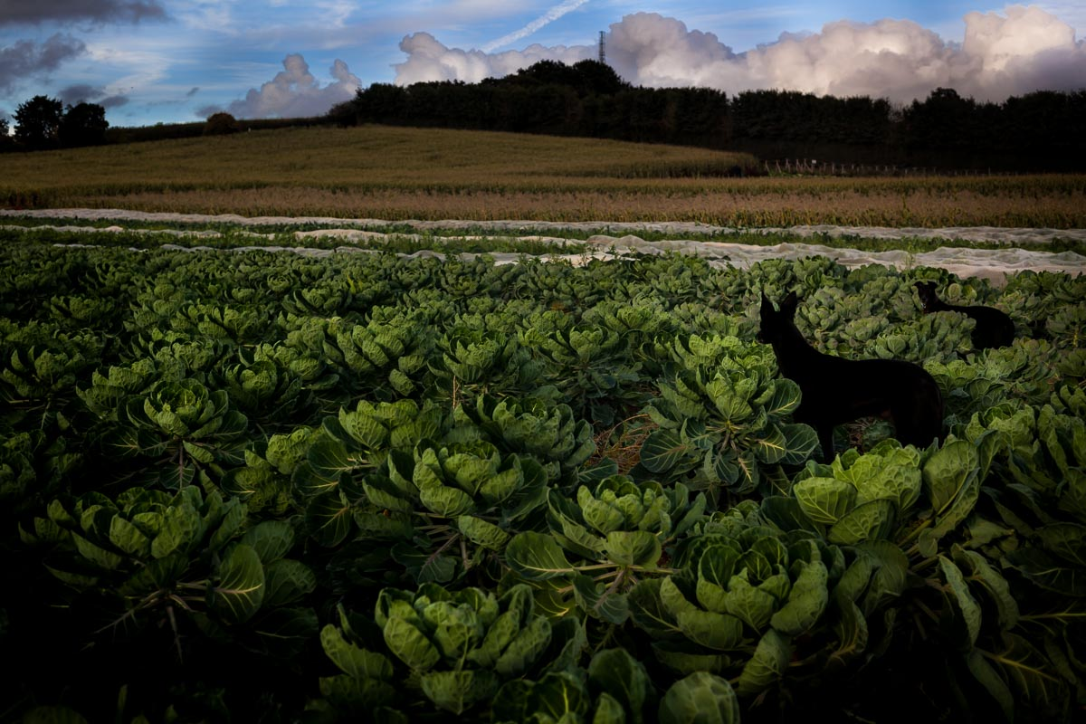 Lurchers_in-cabbage-field_photographer_001