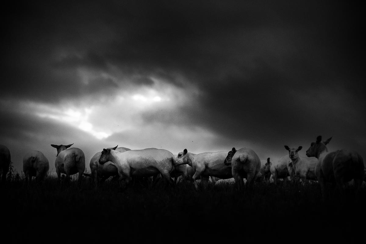 Sheep_photographer_003A