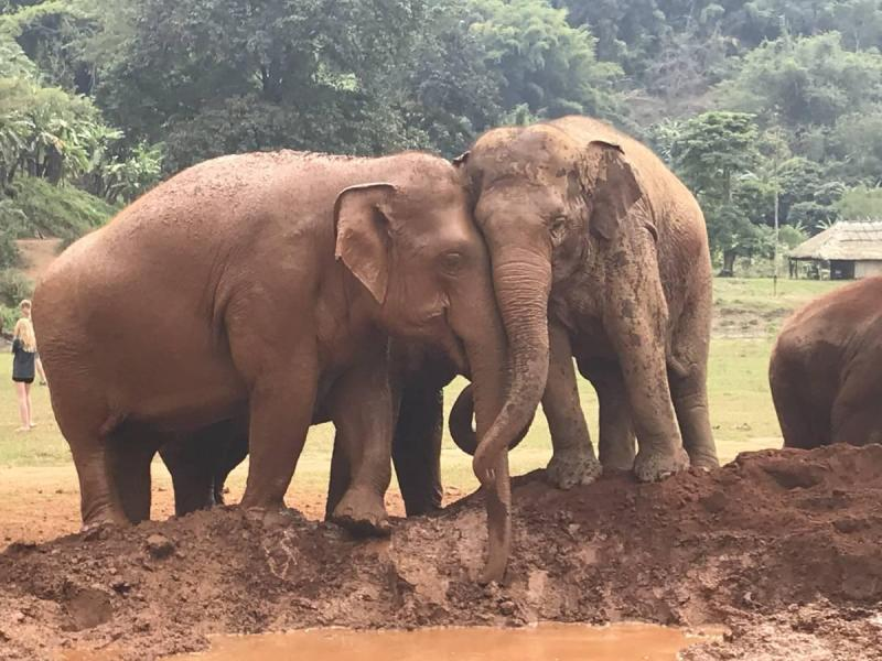 Elephants cuddling and playing in the mud