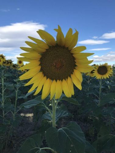 Single sunflower in a field