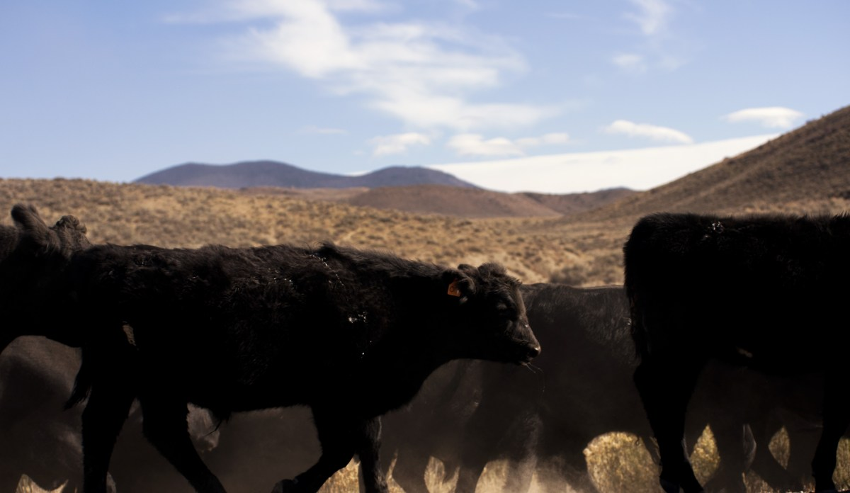 A group of black cows on a cattle drive. Distant hills and mountains behind.