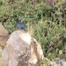 a stellar's jay. jim, this one is for you
