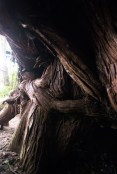 i took this picture while sitting under a gigantic red cedar tree. you could crawl all the way through it.