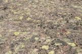 lime green lichen