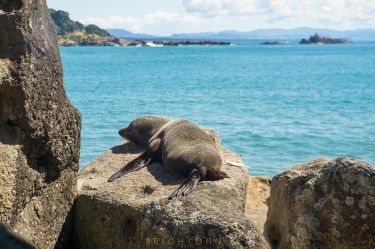 Seal relaxing on a rock. See the fish he is storing?
