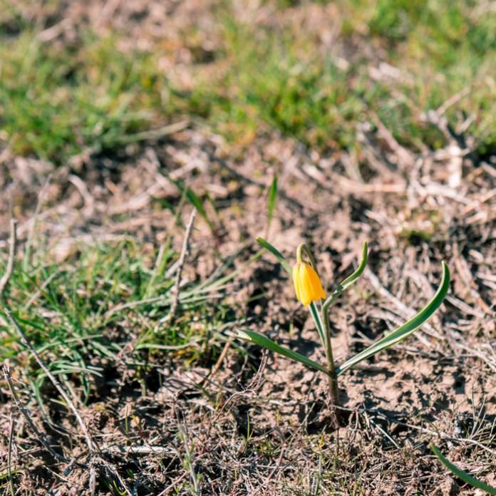 03-26-16-Yellow-Bells-2