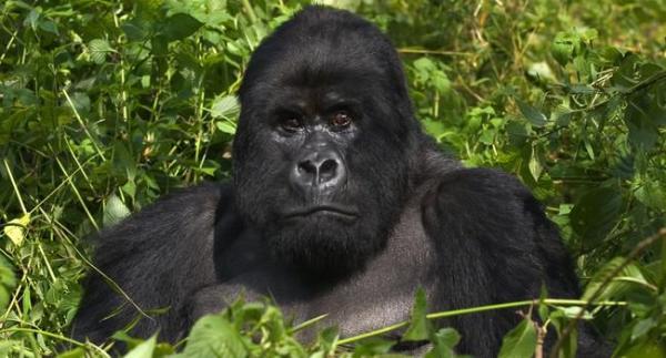 Горилла – самая крупная человекообразная обезьяна ...