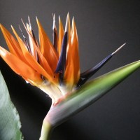 Bird Of Paradise Flower, Strelitzia reginae