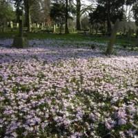 Crocuses in Earlham Cemetery, Norwich