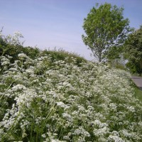 Cow Parsley, Anthriscus sylvestris
