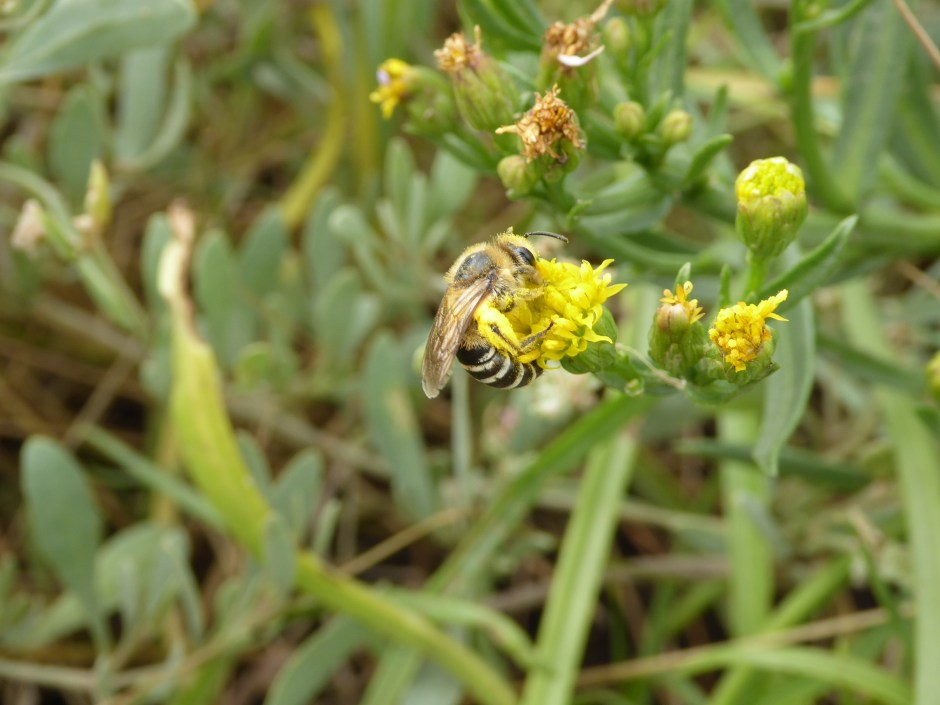 Sea Aster Mining Bee, Colletes halophilus