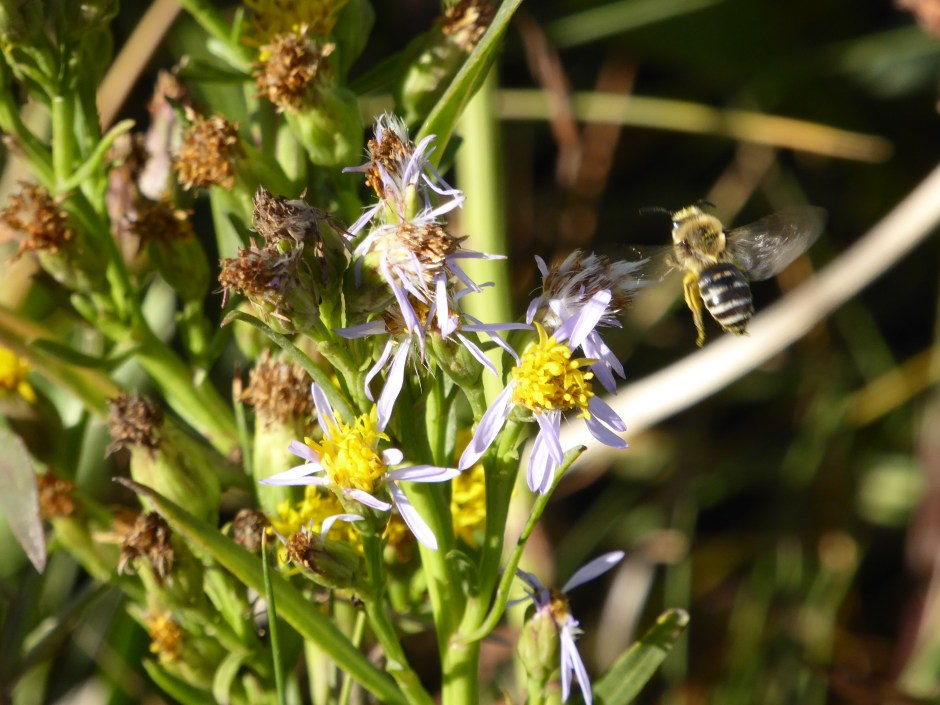 Rayed form of Sea Aster