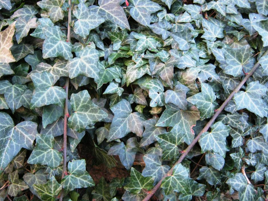 Ivy - shade leaves