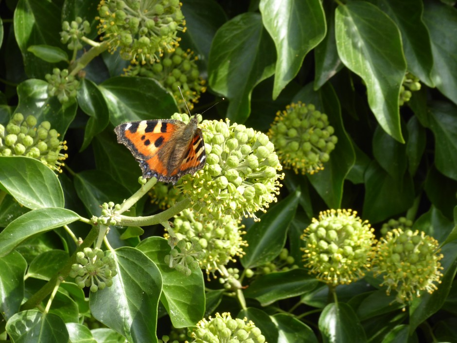 Small Tortoiseshell on Ivy flowers