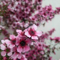 Manuka, Leptospermum scoparium