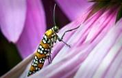 Webworm Moth