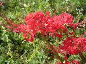 red_blossoms