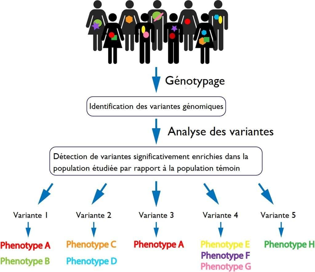 Genotype Et Phenotype Definitions Difference Explications