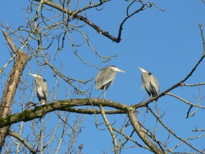 Herons visit us; a new nest was built in spring 2015