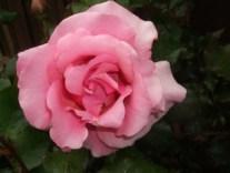A Healing Rose