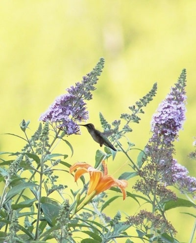 Tinthia Clemant Hummingbird Photo