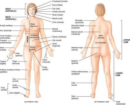 Anatomi Tubuh Manusia dalam Bahasa Jerman. Anatomy human