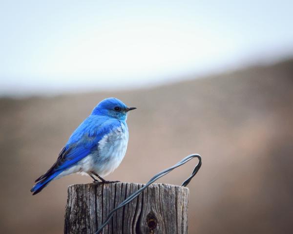 Camas Prairie Bluebird