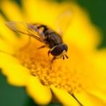 Felgele Arnica bloem die beeldvullend gefotografeerd is. Op de bloem zit een zweefvlieg, waarvan de adertjes duidelijk scherp zichtbaar zijn in één van de beide vleugels. Ook de twee kenmerkende voelsprietjes zijn duidelijk zichtbaar.