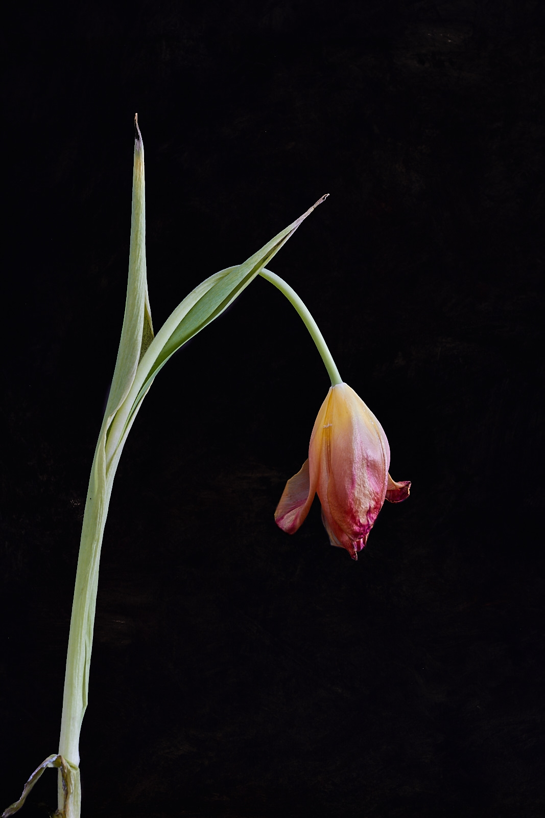 The Ageing Tulip0333-skin-effect-golden-4