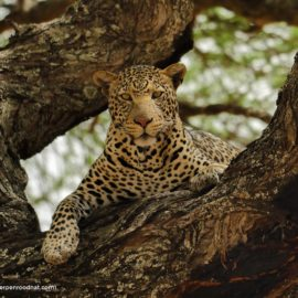 Jeroen inc safari caracal travel video cameraman director leopard serengeti africa video producer