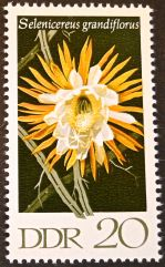 East Germany - flowers - Selenicereus grandiflorus