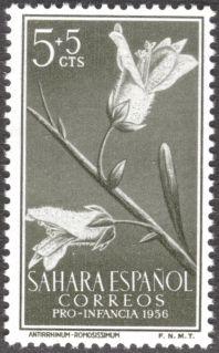 Spanish Sahara, flora, Antirrhinum ramosissimum, 1956