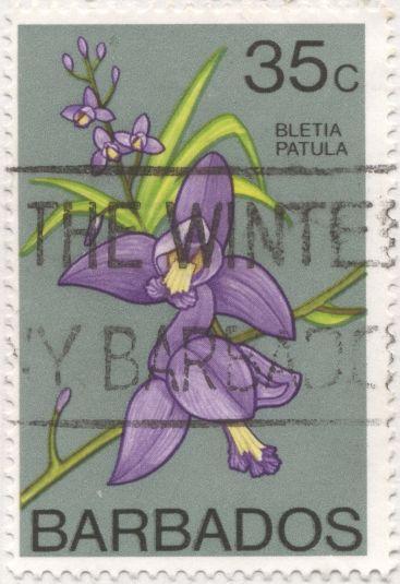 Barbados - Bletia patula